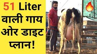 51 लीटर वाली गाय ओर उसका संतुलित आहार जाने|HF cows feed chart in hindi |hf cow farm in india|PART 6