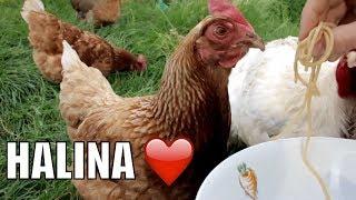 Nowe życie kury Haliny - uratowanej z hodowli klatkowej! 🐣 Otwarte Klatki