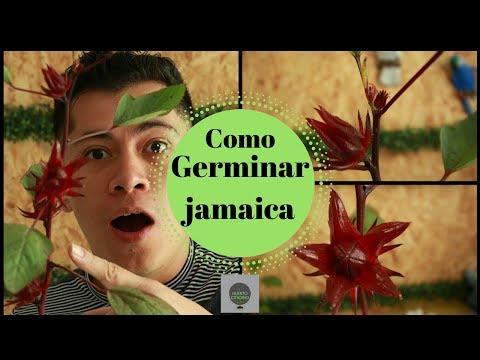 CULTIVO ORGANICO DE JAMAICA EN MACETAS / GERMINACION Y COSECHA PROCESO COMPLETO