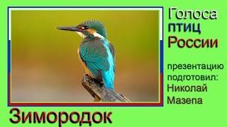 Зимородок. Альциона. Голоса птиц России