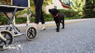 Introducing Charlie to walking next to mobility devices