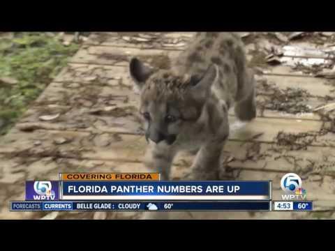 FWC says Florida panther population increasing