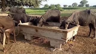 Beautiful & Simple rural life in Punjab Pakistan