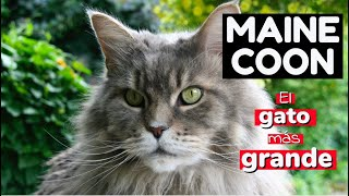 Gato MAINE COON, el gato más grande del mundo  | Raza de gatos Maine coon | Mundo de Gatos