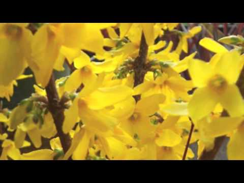 Fast Growing Lynwood Gold Forsythia For Sale Online