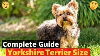 A Complete Guide on Yorkshire Terrier size: How much do Yorkies grow?