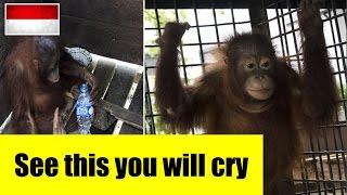 (Kotap) orangutan rescued by an international animal rescue team in west kalimantan Indonesia