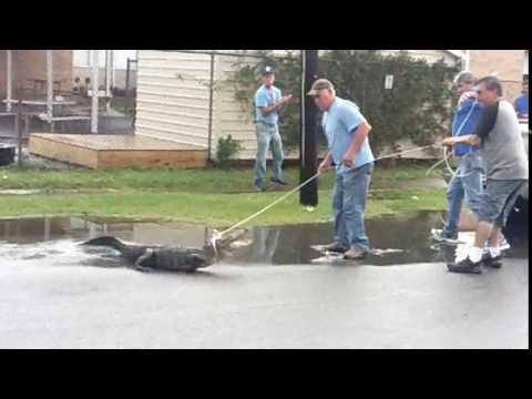 Bucktown gator captured