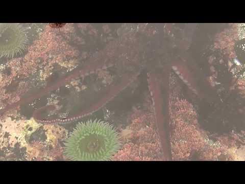 Wild Octopus & Students. Дикий осьминог и студенты (polozov1892)