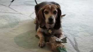 Sassy, The Beagle, Is Available For Adoption!