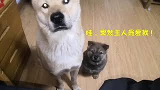 主人吃东西,中华田园犬阿黄带着狗娃一边蹲守,吃货眼神如出一辙!发布...