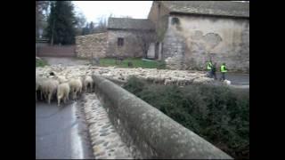 Transhumance à Aix en Provence-Calas.wmv