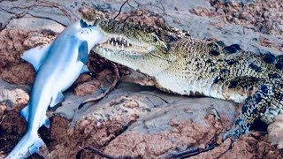 Alligators Are Eating Sharks - New Discovery by Scientists