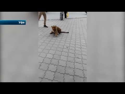 Житель Уфы устроил прогулку с львенком на улицах города