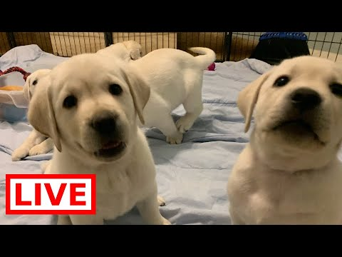 LIVE STREAM Puppy Cam! Adorable Lab Puppies on their 7th Week Birthday!