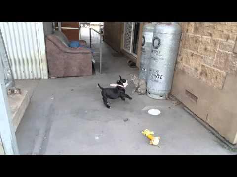 Bulldog puppy attacks devon rex cat. hilariously funny