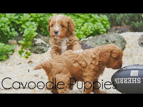 Cavoodle Puppies playing on the pebbles
