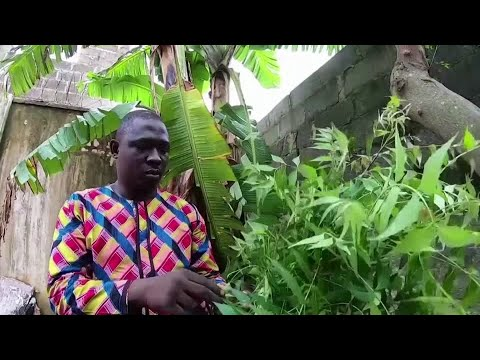 Interest surges for African herbal COVID 'cures'