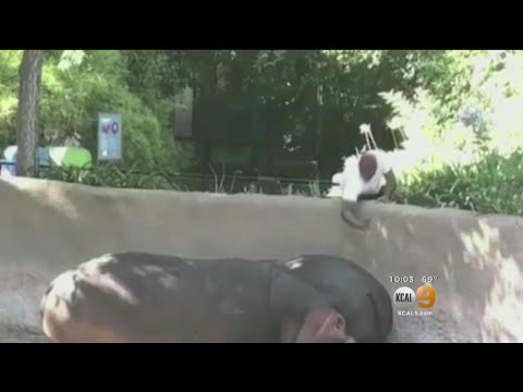 Video of a guy jumping in to a Hippo exhibit at the LA Zoo!
