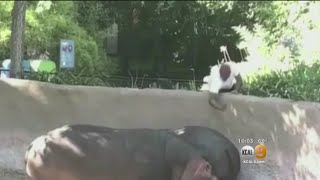 Report: LAPD Looking Into Video Of Man Who Spanked Hippo At LA Zoo