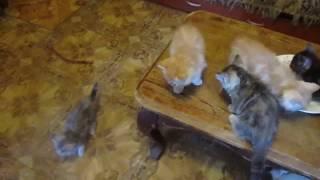 Котята экзоты 8 штук