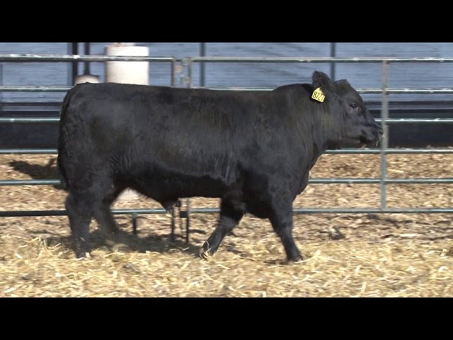 Schiefelbein Angus Farms Lot 253
