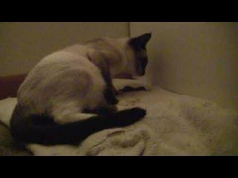 SnowShoe Chocolate Point Siamese Cat Giving Birth Documentary بسة اثناء الولادة