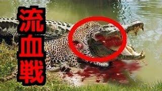 【捕食バトル】ワニの血みどろの戦い!VSライオン!ヒョウ!大蛇! 最強...