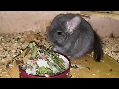 Вопрос: Какой домашней едой можно кормить шиншиллу?