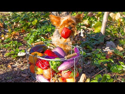 AMAZING Fall Garden HARVEST, Backyard Organic Gardening!