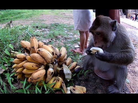 Rich monkey eating banana
