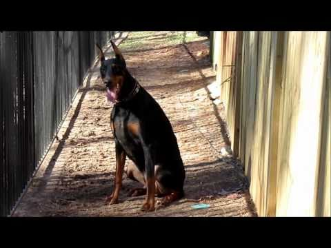 Doberman Running, Jumping, and Exercising
