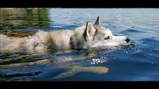 Husky goes Swimming