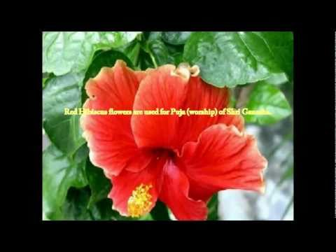 Red Hibiscus -As a Sacred Flower-Heritage,Tradition & Philosophy
