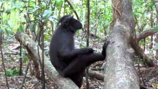 Tarsiers monkeys and Black-crested macaques