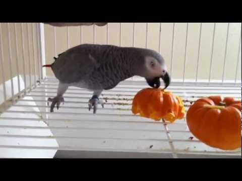 African Grey Parrot vs Pumpkin