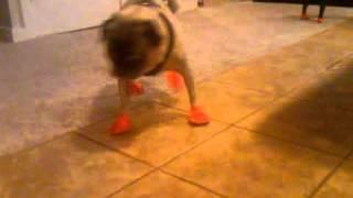Pug Socks, Seattle Dog Walking.
