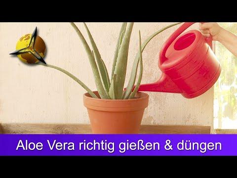Aloe Vera richtig gießen und düngen