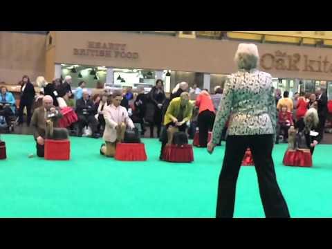Yorkshire Terrier Dog Cruft's 2016