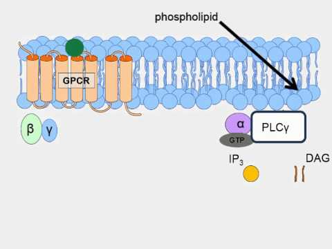 Animation of G-Protein Receptor Signaling