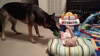 Baby And German Shepherd Play Together
