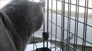 ベランダから見える鳩に一生懸命喧嘩売ってるのか鳴く猫、しかし、肝心...