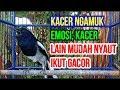 Kacer Gacor Ngamuk Buka Ekor Ampuh Pancing Kacer Lain Jadi Gacor Kicau Kacer Juara  Mp3 - Mp4 Download