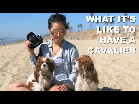 What It's Like To Have A Cavalier King Charles