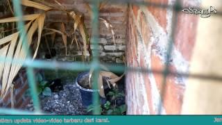 Begini Video Indukan Murai Batu Saat Kawin