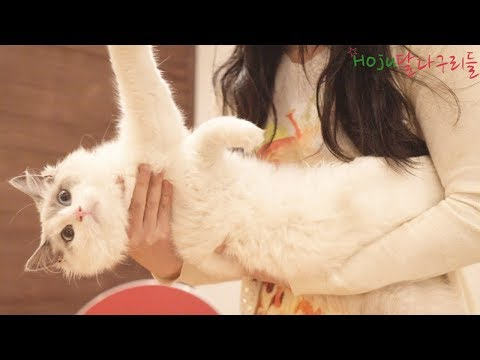 (ENG SUB) Ragdoll Lilac Bicolor Kitten Feature! Ragdoll kitten personality!