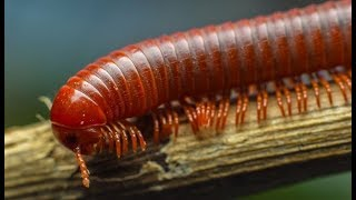 Gambar cover Redish brown Coiled Milllipede (Kenno) Belongs to Phylum Arthropoda