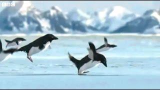 Смешные пингвины на видео. Забавные пингвины под веселую музыку