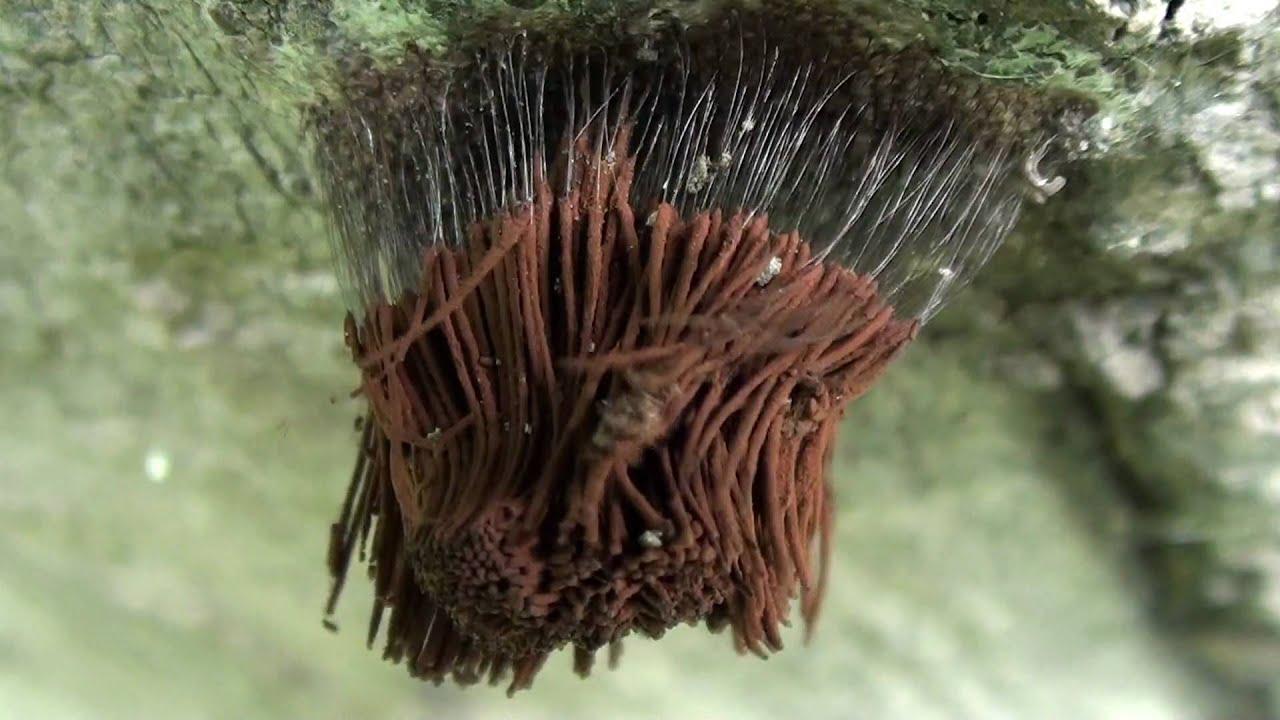 Plasmodial Slime Mold Sporangia Stemonitis spp on Log