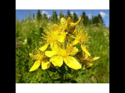 Целебные травы, Зверобой, настойка, отвар, компресс, рецепты применения от болезней